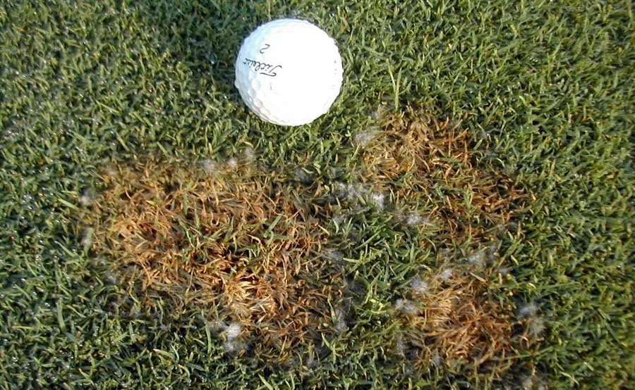 Pythium disease shown next to a golf ball